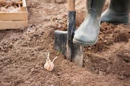 План по посадке картофеля в Белоруссии в целом выполнен