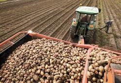 Более трех четвертей картофеля в Белоруссии уже убрано