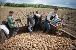 В Белоруссии осталось убрать чуть более 10% картофеля